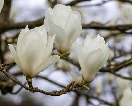 Cluster of white Magnolia denudata Giubiasco flowers in spring