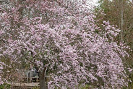 Large weeping tree mass of Prunus Accolade flowers in spring