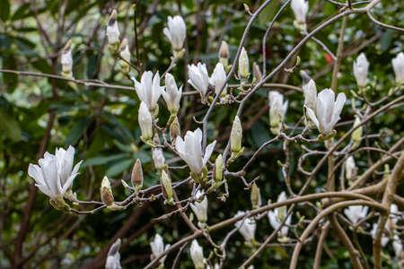 Cluster of white Magnolia soulangeana Alba flowers in spring Standard-Bild