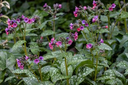 Pulmonaria rubra Bowles Red in flower in spring
