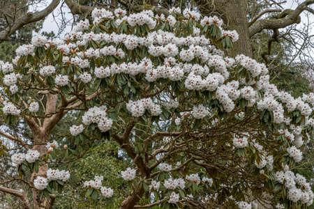 Large Rhododendron arboreum calophytum shrub in flower in spring Standard-Bild