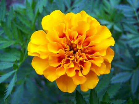 light orange marigold 版權商用圖片