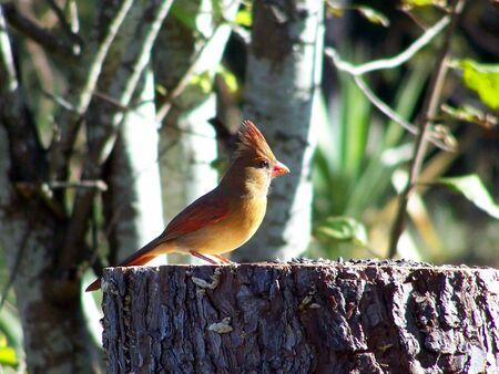 female cardinal on a stump