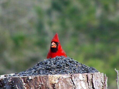 cardinal eating a mighty pile of seed! 版權商用圖片