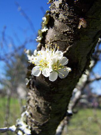 plum tree bloom
