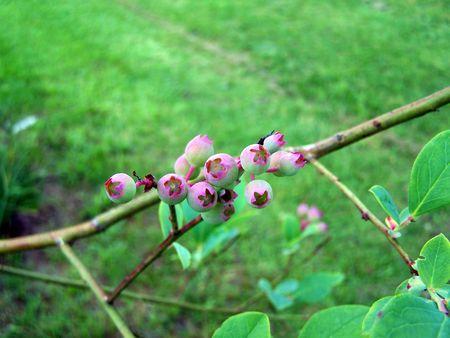 unripened: unripened blueberries Stock Photo
