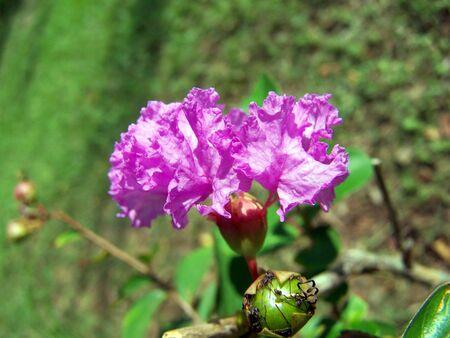 purple crape myrtle Stock fotó