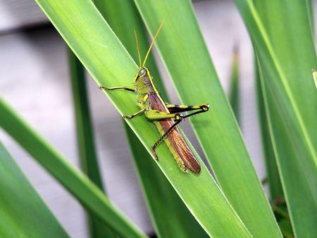 grasshopper Banco de Imagens