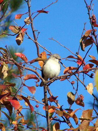 mockingbird: cold mockingbird