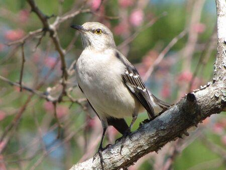 mockingbird: mockingbird on guard