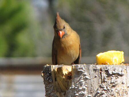 shy cardinal