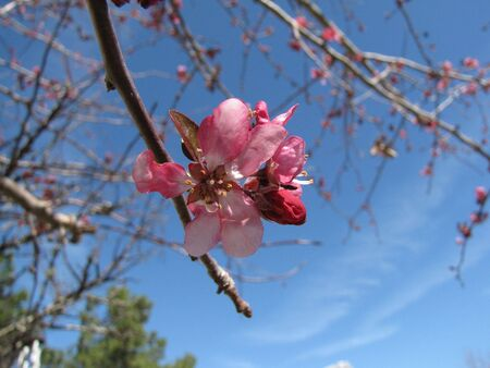 ornamental cherry tree bloom Stok Fotoğraf