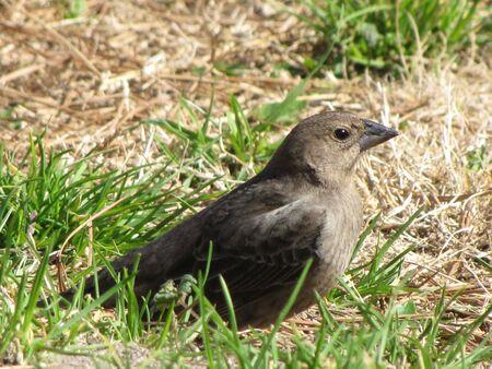 cowbird in the grass
