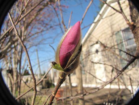 japanese maple bush bloom