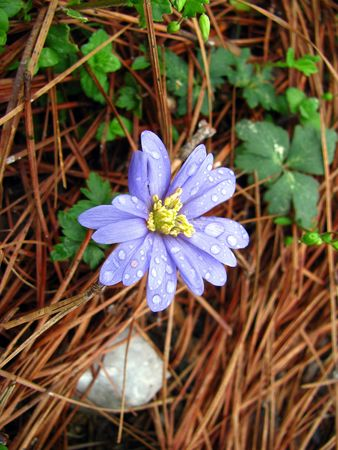 windflower: grecian windflower Stock Photo