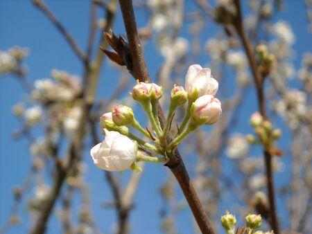 pear tree budding