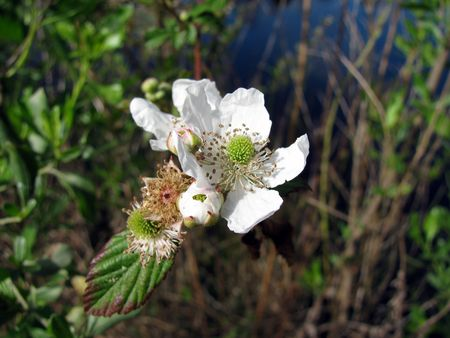 wild blackberry flower Stok Fotoğraf