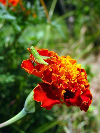 grasshopper on marigold Stok Fotoğraf