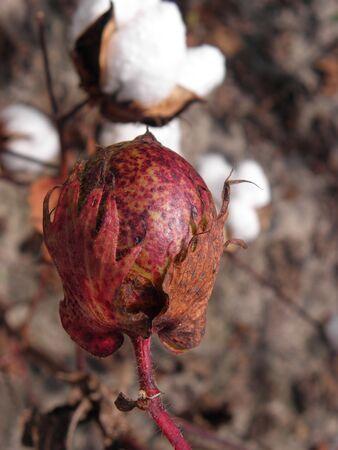 cotton pod Stok Fotoğraf