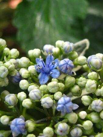 hydrangea bloom Stok Fotoğraf
