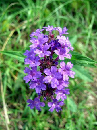 small cluster of tiny purple flowers Stok Fotoğraf