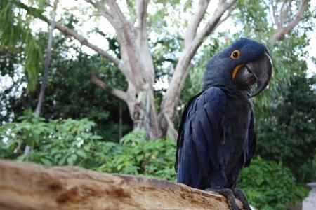 plummage: guacamayo jacinto