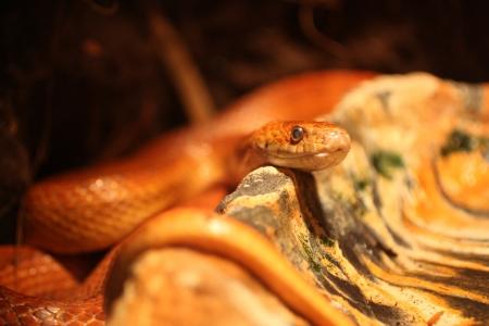 colubridae: red rat snake