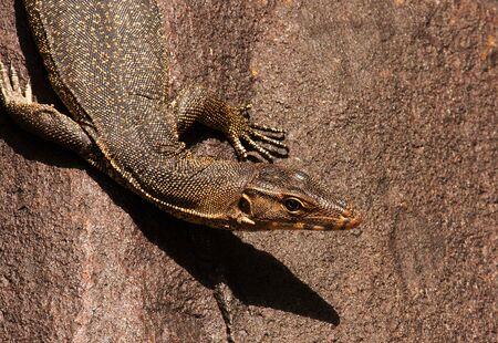oneself: Malaysia.Tioman island , summer.Monitor lizard sitting on the stone and warming oneself up in the sun.