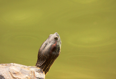 oneself: Singapore,Botanic garde.Big Painted turtle sitting on the edge and warming oneself up in the sun