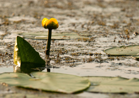 lilia: Poland,summer.Young water lily growing in the old river bed.Summer morning.Horizontal view.