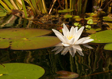 waterlilly: Poland in summer.Beautiful, white water lily growing in the river.Close , horizontal view.Visible, a clear reflection of the flower in the water.