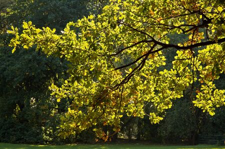 overexposed: Poland.Park in Warsaw in autumn.October.Oak branch with colorful leaves under the sun.Horizontal view.