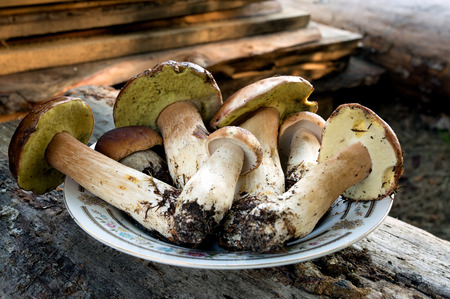 plato del bien comer: Poland.On the wooden table is a plate of freshly picked mushrooms Boletus edulis. The view from up close.Horizontal view. Foto de archivo