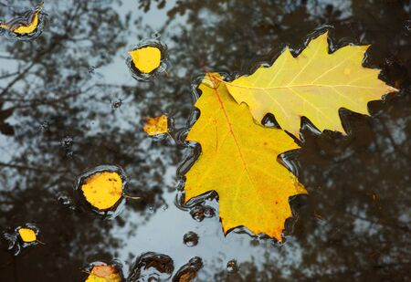 wilting: Two large, yellow oak leaves and a few small from birch, floating in a puddle on a forest path, in the water you can see reflections of the trees growing around it.Poland in autumn,october.