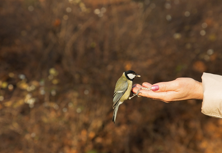 Poland,Warsaw,Lazienki Royal park in autumn.Great tit bird sitting on human hand and eating sunflowwer seed.Horizontal view. Stock Photo