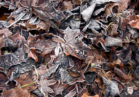 Rotting, covered the December frost leaves on the ground in the park. Horizontal view.