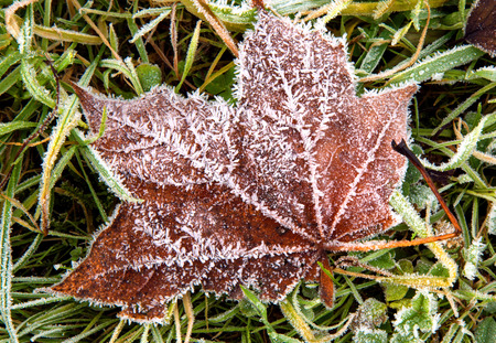 wilanow: Poland,Wilanow Royal park,red,frosted oak leaf on the ground,closeup.