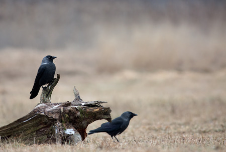 jackdaw: Two Western Jackdaw Corvus monedula in December in the meadow, are sitting on a piece of an old trunk. Poland, meadow near Narew river.Horizontal view. Stock Photo