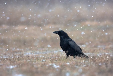 corax: Raven Corvus corax in a snowstorm, sitting in a meadow and looks to the left. Poland, meadow near Narew river in winter. Stock Photo