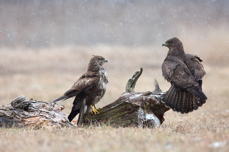 rival rivals rivalry season: The two common buzzards Buteo buteo in the winter, one of them sitting sideways on a piece of an old tree trunk. Horizontal view.Poland, meadow near Narew river.
