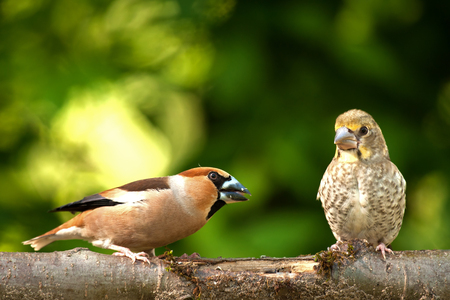 twos: Twos Hawfinch (Coccothraustes coccothraustes), adult and chick sitting together on a branch in a beautiful spring, sunny day. Shallow depth of field and background with green leaves of bushes. Horizontal view. Stock Photo