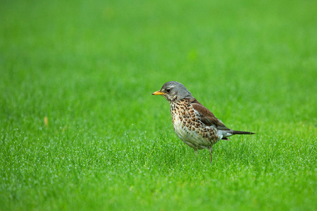 catbird: Thrush Fieldfare (Turdus pilaris) for a meal on the green grass with drops of dew, May,Poland in spring.Horizontal view.