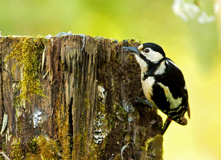 dendrocopos: The female Great Spotted Woodpecker (Dendrocopos major) looking for food under the bark of an old rotten tree trunk .Wiosna in Poland,may. Horizontal view. Stock Photo