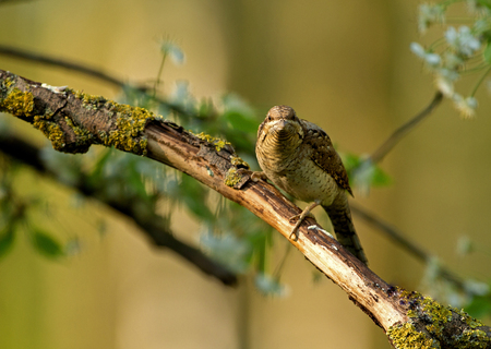 leaning forward: Wryneck ((Jynx torquilla) on a dry branch, leaning forward, looking at wprost.Zdjecie on a beautiful green-yellow background. Close, horizontal view. Poland in May, spring Stock Photo