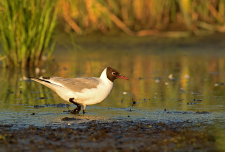 larus ridibundus: Black-headed Gull (Larus ridibundus) wading in the mud among the grasses and reeds in search of food, a beautiful sunny summer morning on the backwaters of the river, Poland. Horizontal view. Stock Photo