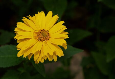 coneflowers: Yellow rudbeckia flower, also called coneflowers and black-eyed-susans on a dark green background. Flat,horizontal,top view.