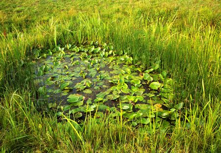 narew: Small pond covered with water lily leaves on a summer meadow near Narew river, Podlasie, Poland.Horizontal view.