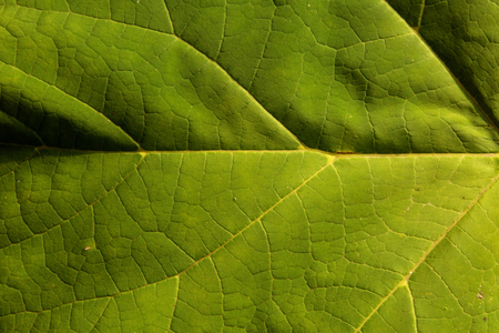 Photo fresh green leaf with clearly visible veined nerve , and slightly undulating surface, very interesting, natural, plant background and texture. Horizontal view.