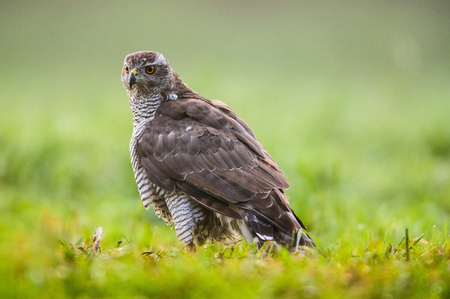 Goshawk (Accipiter gentilis) on the meadow in summer.Bory Tucholskie National Park in Poland.Horizontal view.