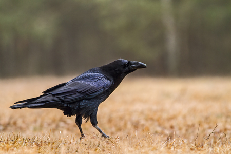 corvidae: Raven (Corvus corax) sitting on a mid-forest clearing in the Bory Tucholskie National Park in March.Clearly visible the powerful beak and beautiful, festive glossy plumage.Horizontal view. Stock Photo